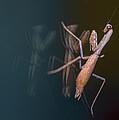Praying Mantis 1 by Angela Stanton