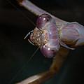 Praying Mantis 3 by Angela Stanton