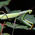 Praying Mantis by Christina Rollo