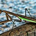 Praying Mantis by Jes Fritze