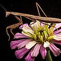 Praying Mantis On Zinnia by Jean Noren