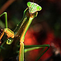 Praying Mantis Portrait by Linda Sannuti