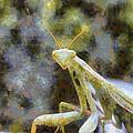 Praying Mantis by Roy Pedersen