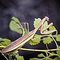 Praying Mantis by Sennie Pierson
