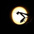 Praying Mantis Silhouette by Danielle Shields