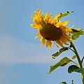 Praying Sunflower by Nancy De Flon