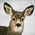 Precious - Mule Deer Fawn - Casper Mountain - Casper Wyoming by Diane Mintle