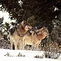 Predators by Sharon Elliott
