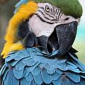 Preening Macaw by David Nicholls