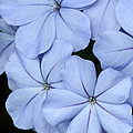 Prettiest Plumbago by Sabrina L Ryan
