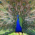 Pretty As A Peacock by Tony  Colvin