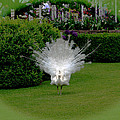 Pretty As A Peacock by Victoria Harrington