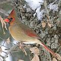 Pretty Cardinal by Peggy  McDonald