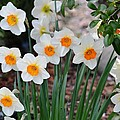 Pretty Daffodil Garden by P S