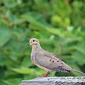 Pretty Dove by Cynthia Guinn