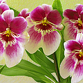 Pretty Faces - Orchid by Ben and Raisa Gertsberg