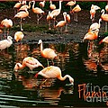 Pretty Flamingos by Joan-Violet Stretch