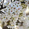 Pretty Flowering Trees by P S