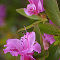 Pretty Fuschia Rhododendron by Living Color Photography Lorraine Lynch