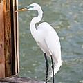 Pretty Great Egret by Carol Groenen
