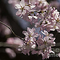 Pretty In Pink Blossom  by Arlene Carmel