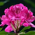 Pretty In Pink by Charles Ford