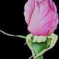 Pretty In Pink Rose Bud by Carol Sabo