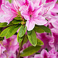 Pretty In Pink - Spring Flowers In Bloom. by Jamie Pham