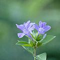 Pretty In Purple by Kim Hojnacki
