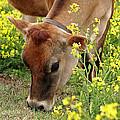 Pretty Jersey Cow Square by Gill Billington