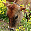 Pretty Jersey Cow - Vertical by Gill Billington