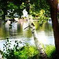 Pretty Lakefront Birches  by Cindy Greenstein