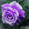 Pretty Lilac Rose by Barbara Griffin