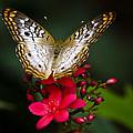 Pretty Little Butterfly  by Saija  Lehtonen