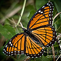 Pretty Monarch by Cheryl Baxter