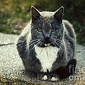 Pretty Old Kitty by Nivas  Photography
