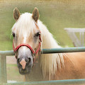 Pretty Palomino Horse Photography by Eleanor Abramson