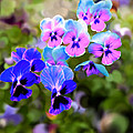 Pretty Pansies 2 by Bruce Nutting