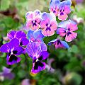 Pretty Pansies 4 by Bruce Nutting