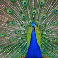 Pretty Peacock by Bill Cannon