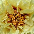 Pretty Peony  by Susan Herber