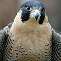 Pretty Peregrine by Richard Bryce and Family