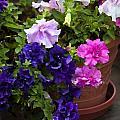 Pretty Petunias by Rich Franco