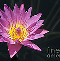 Pretty Pink And Yellow Water Lily by Sabrina L Ryan