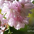 Pretty Pink Cherry Blossoms by DejaVu Designs