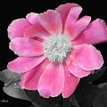 Pretty Pink Petals  by Jeannie Rhode