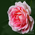 Pretty Pink Rose by Jeremy Hayden