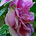 Pretty Pink Rose by Mary Anne Williams