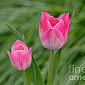 Pretty Pink Tulips by Living Color Photography Lorraine Lynch