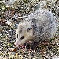 Pretty Possum by MTBobbins Photography